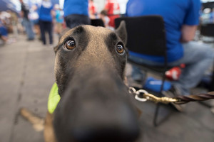 Cairo, Air Force Staff Sgt. Brent Young's service dog, waits for Young as he competes in archery during the 2018 DoD Warrior Games at the U.S. Air Force Academy in Colorado Springs on June 7, 2018.  The Warrior Games are an annual event, established in 2010, to introduce wounded, ill and injured service members to adaptive sports as a way to enhance their recovery and rehabilitation.     (DoD Photo by Roger L. Wollenberg)